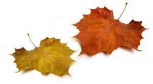 2 autumn leaves beside each other
