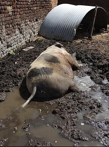 Pig in Shit - Hackney City Farm